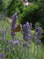 Éberség : levendula, pillangó