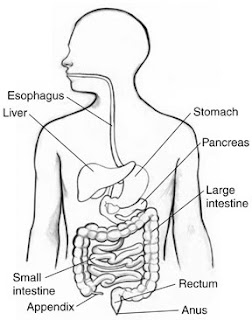 The Digestive System. The intestines are part of the digestive system.