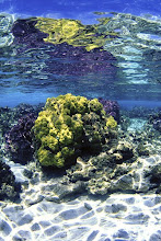 Porites Coral at Midway Atoll (Northwestern Hawaiian Islands)