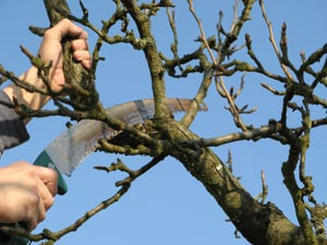 Taille des arbres fruitiers le douaire lahayville les arbres fruitiers
