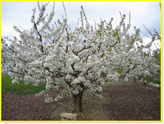 mon arbre le de vivre le douaire tout savoir sur le cerisier prunus cerasus conseils de. Black Bedroom Furniture Sets. Home Design Ideas