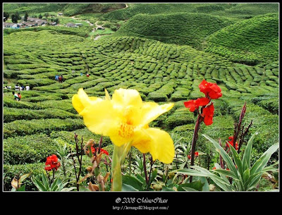 Bharat Tea Plantations Scenery