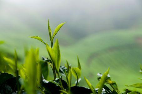 http://1.bp.blogspot.com/_GHNKLdi-2vk/TBoIbfAH-eI/AAAAAAAAANQ/r9ubrN2-HYY/s1600/teh-hijau.jpg
