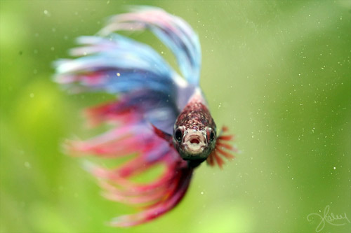 Once a fish now a dragon september 2010 for Cute betta fish