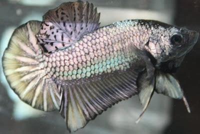 Once a fish now a dragon dragon betta by diaz uwin for Dragon scale betta fish