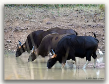 Bison at Jamunzora Waterhole...!