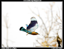 Indian Roller in Flight