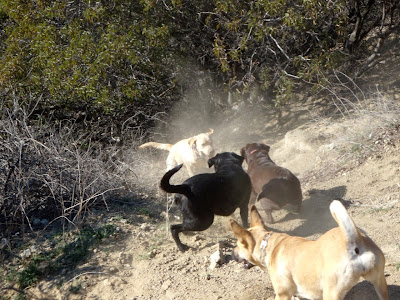 Labrador pack fun