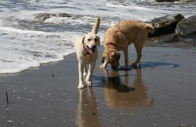 Santa Barbara Beach Labradors