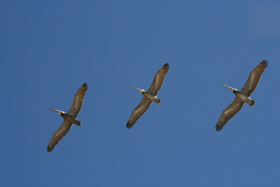 Santa Barbara pelicans soaring
