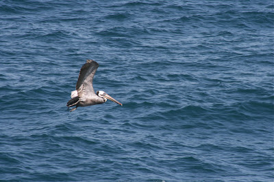 Pelican flight over Pacific Ocean