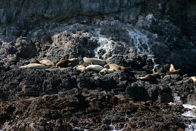 Sea-lions on Anacapa Island rocks