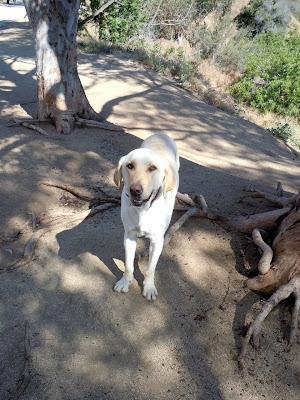 Yellow Labrador Finn