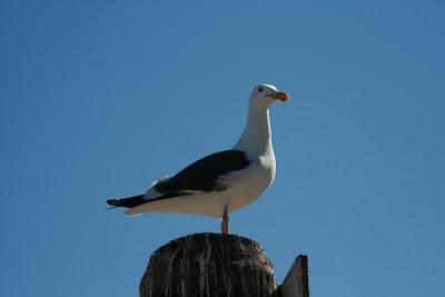 Seagull at Paradise Cove, Malibu