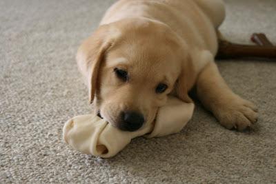 Cooper loves his new edible rawhide bone