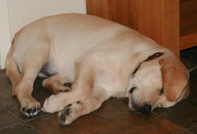 Deep puppy sleeps at 13 weeks