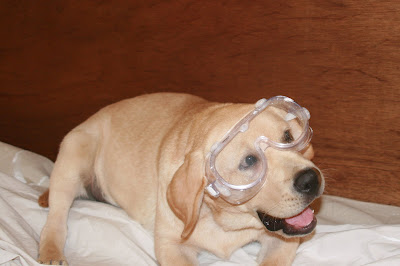 Dog with goggles - having fun helping us to decorate