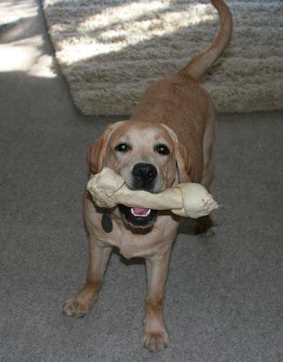 Cooper has graduated to huge rawhide bones now