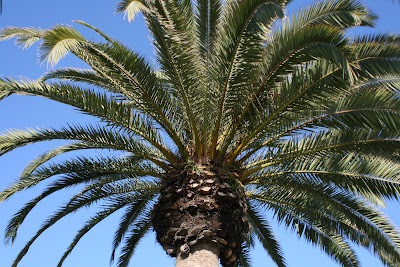 Santa Monica palm tree