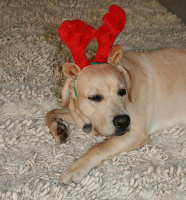 Christmas Cooper in antlers