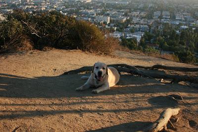Dog tired Cooper at Runyon Canyon