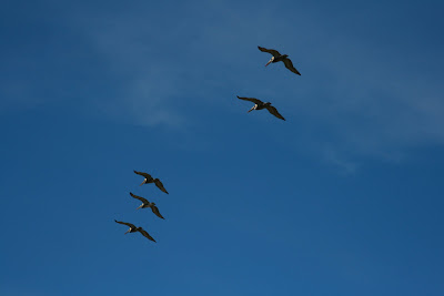 Five pelicans flying