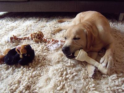 Christmas Day 08 - pup enjoying his presents