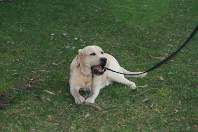 Pup munching on his stick