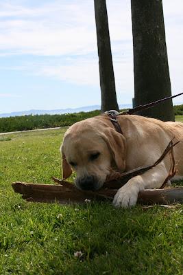 Santa Barbara pup