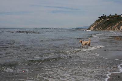 Cooper heading into the ocean at Arroyo Burro Beach