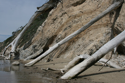 Fallen trees at Arroyo Burro Beach