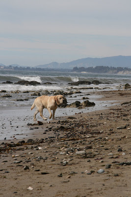 Pup on pebble beach in Santa Barbara