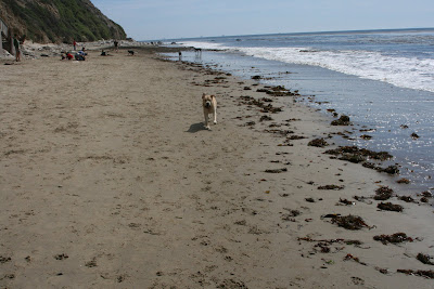 Pup racing up Hendry's Beach in Santa Barbara