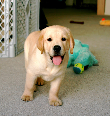 8 week old yellow Labrador pup Cooper