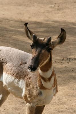 LA Zoo antelope