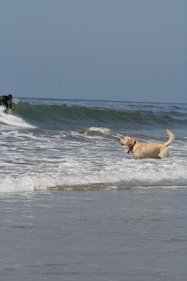 Puppy chasing surfers