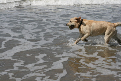 Happy labrador splashing through the waves