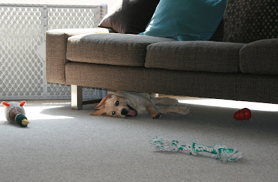 13 week Cooper playing under sofa