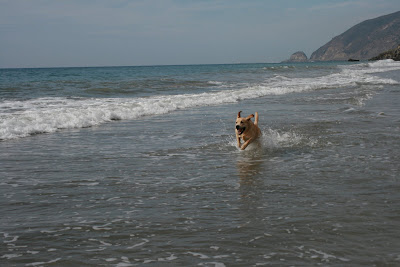 7 month Labrador racing through the waves