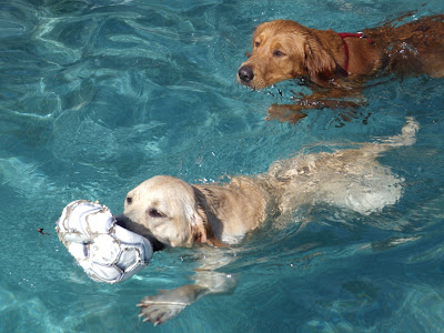 Retrievers at play in pool