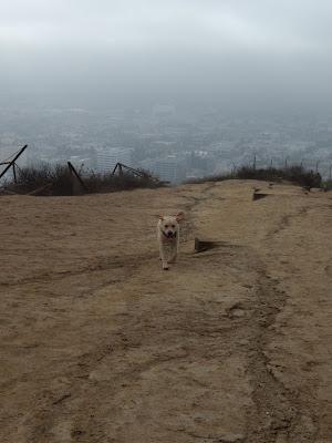 Labrador Cooper at Runyon Canyon