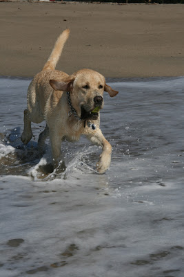 Labrador Cooper splashing through the surf