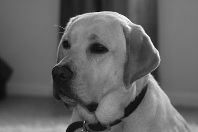 18 month yellow Labrador Cooper in mono