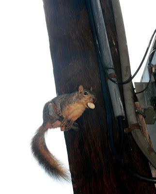 West Hollywood squirrel