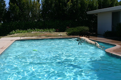 Diving pool Labradors