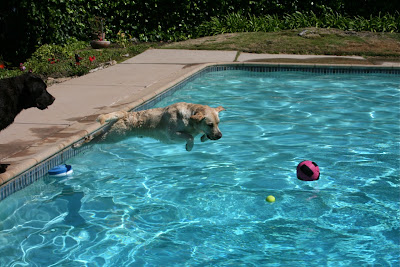 Diving Labradors