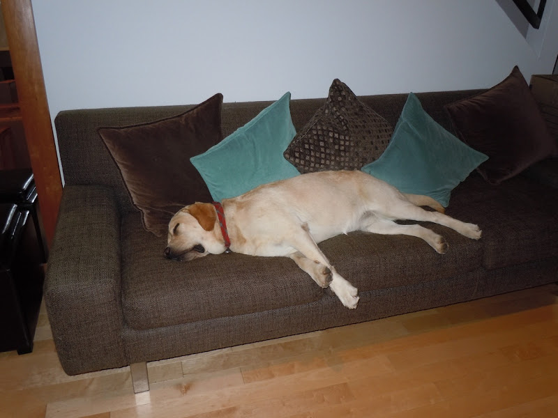 Exhausted Labrador pup