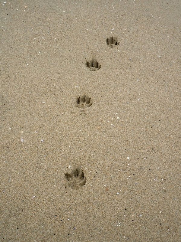 Huntington Beach paw prints