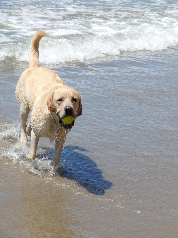 Hendry's Beach Labrador Cooper