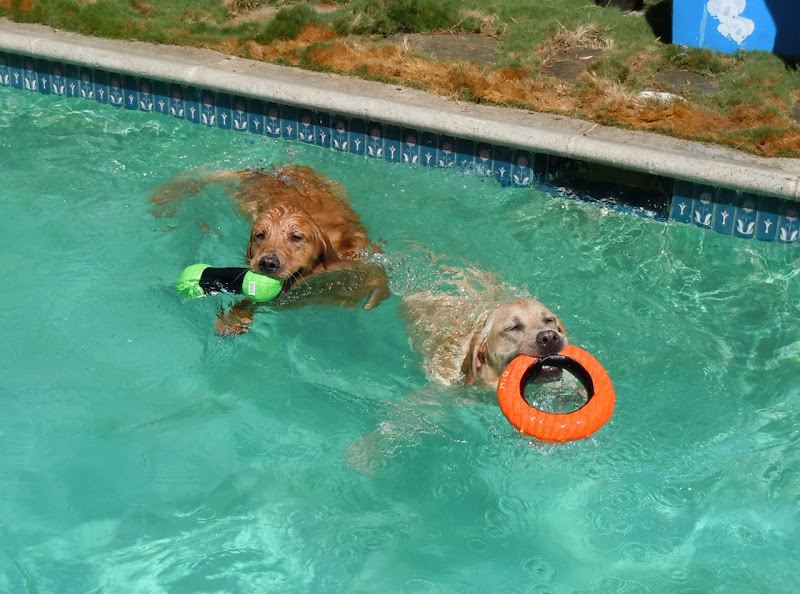 Dog pool playdate